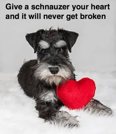 Can't beat Schnauzer love