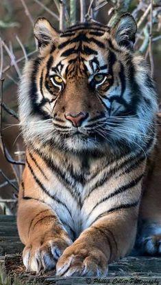 728 Fantastiche Immagini Su Tigri Animali Animali Selvatici E