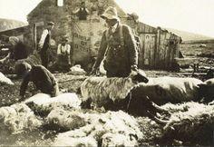 View of 'Sheep-shearing near The Dorback' Sheep Shearing, Sheep And Lamb, Edwardian Era, Vintage Photographs, Mount Rushmore, Britain, History, Amazing, Life
