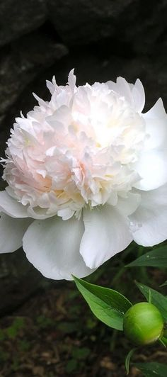 New Ideas For Flowers Peonies Garden Flora Amazing Flowers, White Flowers, Beautiful Flowers, Beautiful Gorgeous, White Peonies, Flowers Uk, Silk Peonies, Purple Tulips, Colorful Roses