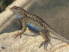 Western Fence Lizard, King's Canyon National Park, August 28, 2016.