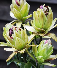 Double flowering Lily 'Mystery Dream'