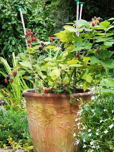 Growing blackberry plants in containers