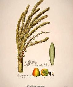 Fruto da pupunha  C. Fr. von Martius (1794-1868). Historia Naturalis Palmarum. (1823-1850