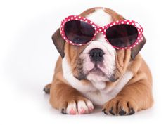 Quality baby registered and pedigreed puppies for sale. You'll love our puppies and pet products check us out today!