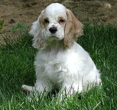 """""""Open"""" marked parti  A parti colored Cocker has two colors, one of which is white,  and the white must cover at least 10% of the body.  If the ratio of white to the other color is very high,  the dog is said to have """"open"""" markings."""