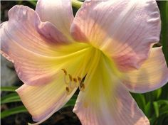 One of my favorites - multiple blooms.  Daylily, Catherine