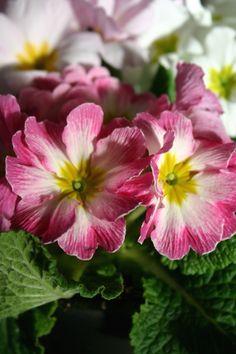 Primroses, Primula vulgaris. Kääpiöesikot tuovat kevään lähemmäs!