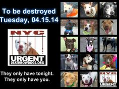 TO BE DESTROYED - 04/15/14 PITTIES ARE IN DANGER AGAIN. ALL THESE DOGS COUNT ON US!!! LET'S NOT LET THEM DOWN!!! PLEASE OPEN YOUR HEARTS AND PLEDGE, TAKE THEM HOME, BUT BE QUICK AS TIME IS TICKING AWAY. THE LIST IS VERY LONG AGAIN AND WE WE HAVE SOLITTLE TIME SO BE QUICK WHEN MAKING UP YOUR UP.   https://www.facebook.com/media/set/?set=a.611290788883804.1073741851.152876678058553&type=3