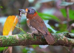 Foto barbudo-de-pescoço-ferrugem (Malacoptila rufa) por Mathias Singer   Wiki Aves - A Enciclopédia das Aves do Brasil