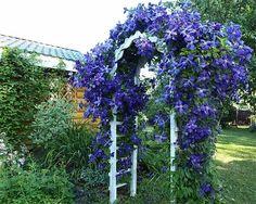 Почему у одних клематис растет почти как сорняк, а у других чахнет и не цветет? Маленькие секреты покажут вам как вырастить клематис у себя в саду.