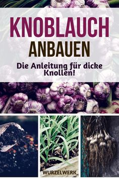 Knoblauch pflanzen, anbauen, ernten und lagern - Wurzelwerk Planting, growing, harvesting and storing garlic: Here are the instructions for thick bulbs - regardless of whether you want to plant Garden Planters, Herb Garden, Vegetable Garden, Planting Vegetables, Planting Garlic, Garden Types, How To Store Garlic, Root System, Plantar