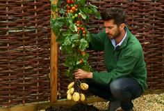 TomTato Plant Produces Tomatoes And Potatoes