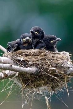 Crows nest full of baby birds. #birds #animals