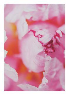 art prints - beautiful petal by Stacy Cooke