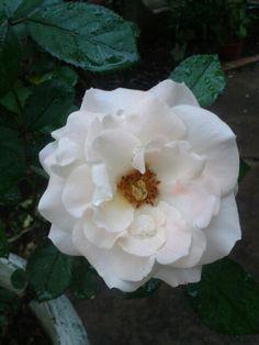 Rosa branca Flowers, Plants, Pink, Beautiful Roses, Plant, Royal Icing Flowers, Flower, Florals, Floral