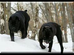 All the more reason to have my mastiffs, this comment below is why I love my mastiff babies. I would probably soil myself if I came across these two Cane Corso dogs! Mastiff Italiano, Cane Corso Italian Mastiff, Cane Corso Mastiff, Italian Mastiff Puppies, Cão Cane Corso, Chien Cane Corso, Big Dogs, Dogs And Puppies, Cute Dogs