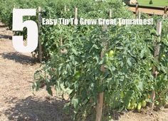 5 Easy Tips to Grow Great Tomatoes | The Farm Old World Garden Farms