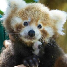 This seven-week-old Red Panda cub had its first visit to the vet at Australia's @perthzoo last week and met all developmental milestones!  Learn more at ZooBorns.com  #babyanimals #perthzoo #redpanda #fluffy #zooborns