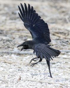 Bird Pictures, Pictures To Draw, Raven Bird, Dog Corner, Crows Ravens, Character Poses, Fluffy Animals, Vanitas, Beetlejuice