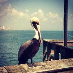 "The unofficial mascot of Springmaid Pier ""Pelican Joe"""