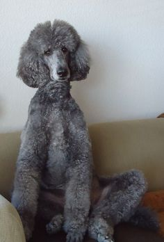 Standard Grey Poodle. Very smart. No shedding and a lovely furry friend!:)