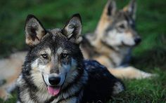 "Move over Rover - a new ""hybrid wolf"" closely descended from wild animals is displacing more traditional dog breeds as family pets."