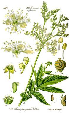 Der Duft des Mädesüß vermittelt Lebensfreude, es eignet sich zum aromatisieren von Speisen und hilft bei Erkältungen, Kopfschmerzen und vielem mehr.