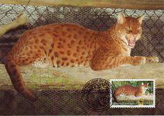 African Golden Cat   african golden cat eats birds monkeys duikers hogs and antelopes