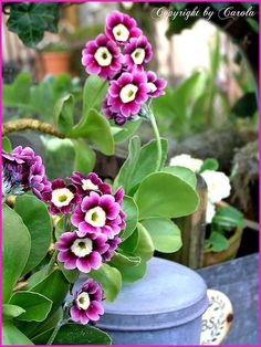 https://flic.kr/p/6e1pXV | Auricula 2009 | in full bloom today! Blogged about here: www.Carolsgarden.blogspot.com