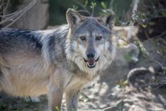 Mexican Wolf | Flickr - Photo Sharing!