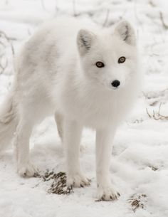 Roxanne, an arctic fox at the Detroit Zoo, came to the Detroit Zoo in 2010 with her sister Moxie, joining their older sister Alex. The trio reside at the Arctic Ring of Life, North America's largest polar bear exhibit, which also houses seals. (Photo by Mark M. Gaskill)
