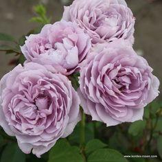 KORDES Rosen Novalis ® Die schönsten Rosen der Welt