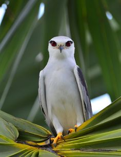 Black-Shouldered Kite a.k.a. Australian Black-Shouldered Kite, Elanus axillaris - Australia