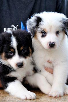 Taylor & Mardi ~ 7 week old Aussie pups