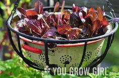 Growing lettuce in a colander