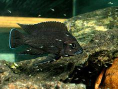Variabilichromis moorii Neolamprologus moori Malawi Cichlids, African Cichlids, Colorful Fish, Tropical Fish, Planted Aquarium, Aquarium Fish, Victoria Lake, Lake Tanganyika, Cool Fish