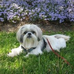 How to house train a shih tzu, including crate training and other consideration; for puppies and adult dogs
