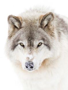 Timber Wolf by © Jim Cumming