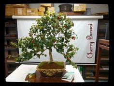 Miami Tropical Bonsai - Cherry Bonsai Tree 5134, $800.00 (http://miamitropicalbonsai.com/cherry-bonsai-tree-5134/):
