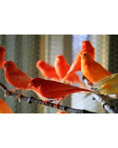 """Canaries!  Beautiful.  My mom used to have one, a yellow male named """"Tweet"""" and he used to sing so pretty!"""