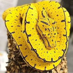 Tagged with nature, animals, photography, awesome, amazing; One of the most beautiful snakes Beautiful Creatures, Animals Beautiful, Colorful Snakes, Yellow Snake, Cute Snake, Beautiful Snakes, Tier Fotos, Reptiles And Amphibians, Green Trees