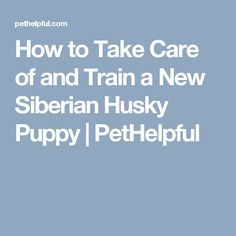 How to Take Care of and Train a New Siberian Husky Puppy | PetHelpful