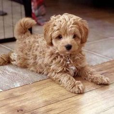 , de thé-Check plus Dozer-Mini_Doodle_Dogs-Teacup_Goldendoodle_puppy-Teacup_Goldendoodle-Teddy_Bear … Cute Little Puppies, Cute Dogs And Puppies, Baby Dogs, Puppies Puppies, Doggies, Mini Dogs, Mini Puppies, Puppies That Dont Shed, Dog Breeds That Dont Shed
