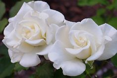 John F. Kennedy Rose. Determined to find one of these to add to my rose collection.