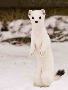 ermine guys The ermine appears in 2 issues  deadpool 2 totally ruins x-men's already  until you earn 1000 points all your submissions need to be vetted by other comic vine .