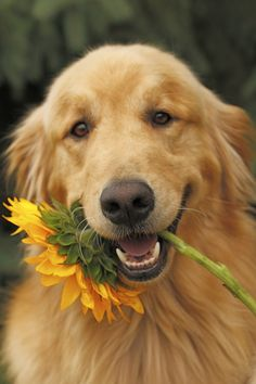 My favorites.... Sunflowers & Goldens