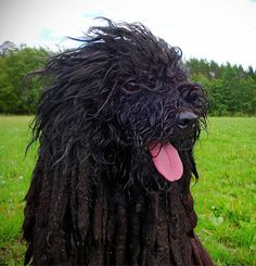 Hungarian #Puli / Pulik #Dogs