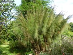 cannomois grandis | Cannomois virgata = Cannomois grandis - Restio (Bell Reed) - A beautiful large restio with stout culms rising from rhizomes to 7 feet tall