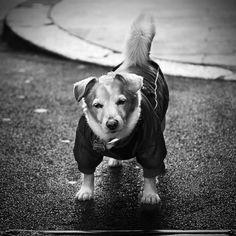 Attila by Massimo Raldeni, 2011. #dogs #pets